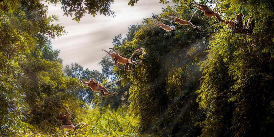 Family of Proboscis Monkeys crossing the Kinabatangan river